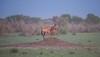 Namibia Etosha Red Hartebeest (Sas & Rikske) Tags: canon eos1d x canoneos1dx canon100400 eric bruyninckx riksketervuren namibië namibia namib animal animals safari africa afrika etoshagamepark etosha game park etoshapan pan greatwhiteplace great white place oshindonga ndonga landscape green blauwevogelreizen 2017 redhartebeest red hartebeest morning