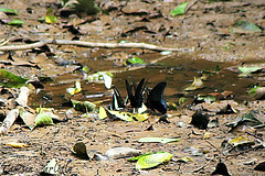 Butterflies drinking (tinlight7) Tags: butterflies insects drinking cattien vietnam taxonomy:kingdom=animalia animalia taxonomy:phylum=arthropoda arthropoda taxonomy:subphylum=hexapoda hexapoda taxonomy:class=insecta insecta taxonomy:subclass=pterygota pterygota taxonomy:order=lepidoptera lepidoptera taxonomy:superfamily=papilionoidea papilionoidea taxonomy:family=papilionidae papilionidae taxonomy:subfamily=papilioninae papilioninae taxonomy:tribe=papilionini papilionini taxonomy:genus=papilio papilio taxonomy:subgenus=papilio taxonomy:species=memnon taxonomy:binomial=papiliomemnon papiliomemnon greatmormon 美鳳蝶 christmasswallowtail taxonomy:common=greatmormon taxonomy:common=美鳳蝶 taxonomy:common=christmasswallowtail inaturalist:observation=9809158