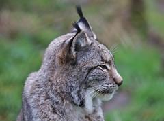 Lynx (Hugo von Schreck) Tags: hugovonschreck cat luchs lynx canoneos5dsr fantasticnature tamronsp150600mmf563divcusda011