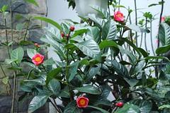 (bambooland) Tags: myyard mygarden camellia flowers plant spring lunarnewyear chinesenewyear
