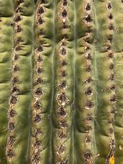 It's a Dry Heat (rickcameron) Tags: saguaro cactus pinnaclepeakpark scottsdale arizona