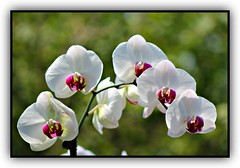 White Orchids (bigbrowneyez) Tags: flowers orchids branch fabulous beautiful pretty lovely elegant white petals nature natura delicate bright sunshine light sunny whiteorchids glorious fancy belli bellissimi delightful dof bokeh frame cornice fiori missingspring uplifting rich glowing glow