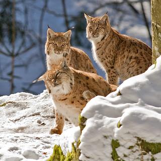 Lynx lynx - Euraziatische lynx