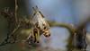 Grote Barmsijs - Common Redpoll - Carduelis flammea -2803 (Theo Locher) Tags: commonredpoll grotebarmsijs birkenzeisig sizerinflammé carduelisflammea birds vogels vogel oiseaux netherlands nederland copyrighttheolocher