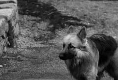 whisky close up-0074 (Nick Vidal-Hall) Tags: dog alsation bw