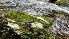 Caminho do Itupava (clodo.lima) Tags: frog caminhodoitupava itupavaspath ra agua water river forest floresta mata woods g935f samsungs7