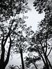 Grey skies (kimbar/Thanks for 3 million views!) Tags: lajolla california trees sky frombelow lookingup