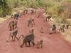 Baboon troop on road 1 (David Bygott) Tags: africa tanzania natgeoexpeditions 171230 lake manyara lmnp baboon social behavior troop