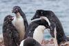 Adelie penguins (Travels with Kathleen) Tags: antarctica birds penguins wildlife outdoor petermannisland snow adelie