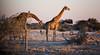 Namibia (mokyphotography) Tags: namibia africa giraffe sunset tramonto landscape etosha park animals animali