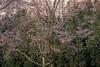 Berlin, Gärten der Welt: Viel zu früh erblühter Japanischer Zierkirschbaum - Gardens of the World park: Prematurely flowering Japanese cherry tree in the Chinese Garden (riesebusch) Tags: berlin chinesischergarten gärtenderwelt marzahn