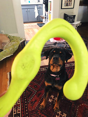 13/365 (moke076) Tags: 2018 365 project 365project project365 oneaday photoaday iphone cell cellphone mobile vscocam vsco dog pet sit animal rottie rottweiler toy house living room play playing sasha