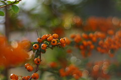 Colors and joy (Baubec Izzet) Tags: baubecizzet pentax nature fruit autumn