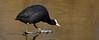 Coot (meerkoet) (moniquedoon) Tags: ice coot meerkoet vogel waders winter birds bird slipping sliding smooth waterbird wildlife nature earlybirds natureperfection coots