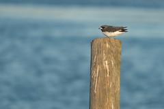 Wood Swallow (Merrillie) Tags: small nsw woywoy swallows wildlife australia twoofakind swallow bird birds woodswallows animals fauna tiny newsouthwales animal