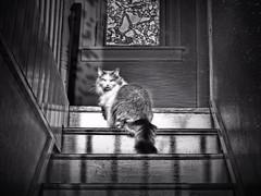 Ominous (LupaImages) Tags: cat feline sinister ominous evil look face eyes grumpy warning fur pet light shadow stairs window love stare waiting indoors