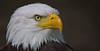 Bald eagle (pe_ha45) Tags: greifvögel weiskopfseeadler baldeagle haliaeetusleucocephalus falknerei fauconnerie falconry raptor rapace àquilacalva aquiladimaretestabianca águiadecababecabianca pyargueàtêteblanche riedenburg rosenburg