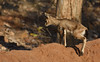 Chinkara (praveen.ap) Tags: chinkara indian gazelle indiangazelle ranthambhore ranthambore ranthambhoretigerreserve ranthambhorenationalpark ranthamborenationalpark zone7 7 cub young
