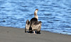 The squat..... (flying-leap) Tags: newzealand canon canon60d 60d northcanterbury nz wildlife estuary ashleyrakahuriestuary ef70300mmf456lisusm southisland birds the4seasons summer 4summer spottedshag shag