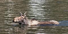 Moose (F) (kearneyjoe) Tags: moose