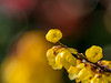 Wintersweet (dayonkaede) Tags: nature flower bud yellow plum olympus em1markii m300mm f40 mc14
