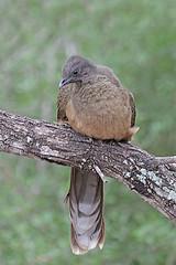 Plain Chachalaca (Alan Gutsell) Tags: birding birds wildlife nature alan naturephoto photo texas texasbirds gulf rio grande plain chachalaca plainchachalaca