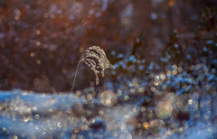 alone in bokeh (marinachi) Tags: bokeh blue snow candid winter grass sundaylights cof020dmnq cof020mark cof020chon cof020uki