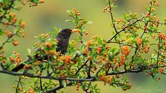 Mirlo (Rodri Valdez) Tags: bird mirlo nature wild naturaleza villavicencio tele objetivo sony alpha 70400 g ssm 70400g