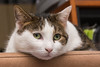 Brownie (bertrandwaridel) Tags: 2018 brownie echallens february switzerland vaud winter cat