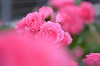 Rose 'Royal Bonica' raised in France