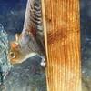 Sunday Squirrel LARRY-LEE (caren (Thanks for 3Mio+ views)) Tags: 7dwf greysquirrel sciuruscarolinensis westwales ceredigion cymru makemesmile