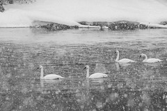 Swans (leandrews2) Tags: swans snow winter river yellowstone