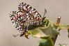 Zerynthia rumina (ajmtster) Tags: insecto mariposas arlequin macro cópula papiliónidos papilionidae macrofotografia lepidópteros zerynthiarumina invertebrados