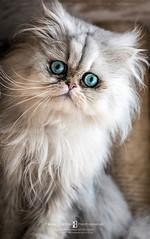 Beautiful Persian cat (Frank Boston Photographie) Tags: cat animal persian fur white green blue beautiful whiskers portrait domestic pet cute animalhair kitten soft furry feline