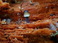 Toodstools & Mite (Bugldy99) Tags: fungus nature mushroom toadstool