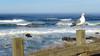 Standing Guard (PDX Bailey) Tags: ocean wave sea seagull bird animal water sky blue grass oregon yachats northwest pacific coast beach shore beacheslandscapes 7dwf