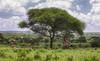 Just Like Paradise (AnyMotion) Tags: impala schwarzfersenantilope aepycerosmelampus giraffe giraffacamelopardalis tree baum lushgreenüppiges grün landscape landschaft landschaftsaufnahmen 2018 anymotion tarangirenationalpark tanzania tansania africa afrika travel reisen animal animals tiere nature natur wildlife 6d canoneos6d
