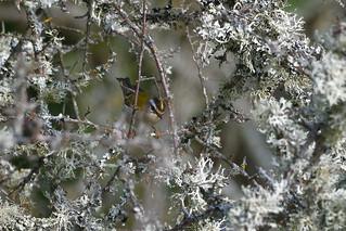Roitelet triple-bandeau - Regulus ignicapilla - Common Firecrest