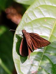 Chocolate Demon (chaz jackson) Tags: chocolatedemon ancistroidesnigrita hesperidae hesperinae demon skipper butterfly insect vietnam