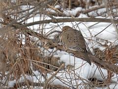 Mourning Dove (Rutland County Audubon) Tags: dove mourningdove bomoseenstatepark castleton 2018 winter rutlandcounty rutlandcountyaudubon