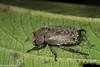 Adoretus sp. (GeeC) Tags: adoretus animalia arthropoda beetles cambodia coleoptera insecta kohkongprovince nature nightwalk rainbowlodge rutelinae scarabbeetles scarabaeidae scarabaeoidea tatai