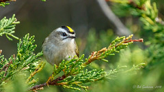 Golden-crowned Kinglet (Bob Gunderson) Tags: birds california goldencrownedkinglet kinglets kingletsgnatcatchers northerncalifornia regulussatrapa sanfrancisco sutroheights