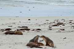 Seal Bay, Kangaroo Island, South Australia (hectordotlee) Tags: landscape australia tourist canon canon500d sands beach attraction travel scenic sealbay seals water ocean 500d kangarooisland outdoor southaustralia au
