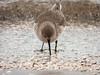 Dunlin (DUNL) Caladris alpina (kevingilesbirds) Tags: dunlin shoreline birding lakeerie turkeypoint hennygiles shorebirds closeup southernontario photography entranceno8 canadageese kevingiles