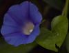 jdy222Bgr3EgrbadeadBloRbgbYardElobplipomeaeplXX20050810a7055morningglory(1).jpg (rachelgreenbelt) Tags: ghigreenbelthomesinc usa eudicots colorscool greenbelt northamerica midatlanticregion ouryard ipomoeatricolorheavenlyblue colorblue ordersolanales ipomoeaall maryland americas familyconvolvulaceae convolvulaceae convolvulaceaefamily magnoliophyta floweringplants polemoniales solanales solanalesorder spermatophytes