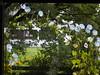 Garden Flower Morning Glory Ipomea © Blume Winde Spalier © (hn.) Tags: badtölzwolfratshausen bavaria bayern blume blumenspalier chair convolvulaceae copyright copyrighted creeper deutschland eu europa europe flora flower flyingsaucers gaissach gaisach garden garten germany heiconeumeyer ipomea ipomeatricolor isarwinkel klimmendewinde landkreisbadtölzwolfratshausen lattice moonflower morningglories morningglory oberbayern oberland prachtwinde prunkwinde ranke sommer spalier stuhl summer trichterwinde tölzerland upperbavaria winde