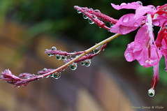 Long for rain (Tatters ✾) Tags: australia flowers rain droplets drops reflection pinkflowers homegarden gauralindheimeri gaura