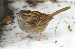 White-Throated Sparrow In The Snow (Kaptured by Kala) Tags: sparrow garlandtexas zonotrichiaalbicollis whitethroatedsparrow wintersparrow closeup outsidemywindow snow snowing snowflake birdseed eating feeding