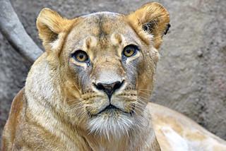 afrički lav (Panthera leo / African Lion / Afrikanischer Löwe)