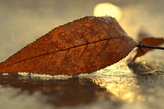 breathe (joy.jordan) Tags: leaf texture frost ice reflection light sunrise winter nature thismorning poetry